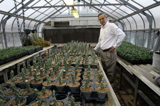 Alamo horticulturist Mark Nauschutz looks at cholla cactus that are propagated in the Alamo greenhouse and sold at the Alamo gift shop. (Wednesday February 16, 2011) JOHN DAVENPORT/jdavenport@express-news.net Photo: SAN ANTONIO EXPRESS-NEWS