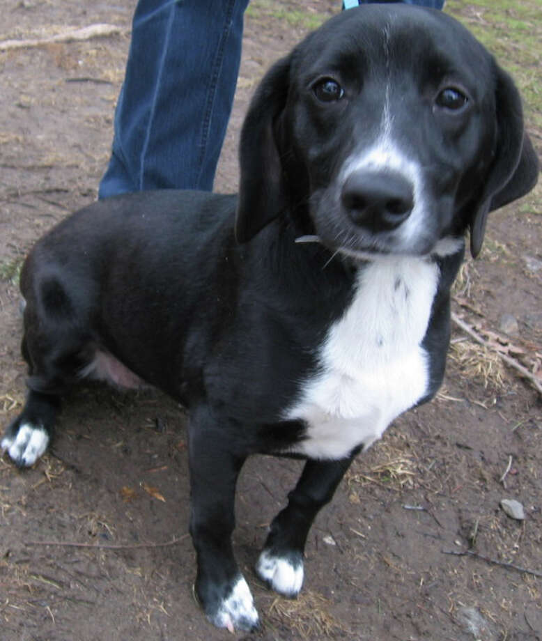 """Lacey"" is a 9-month-old beagle mix available for adoption from Save Our Strays in Westport. Photo: Contributed Photo / Westport News contributed"