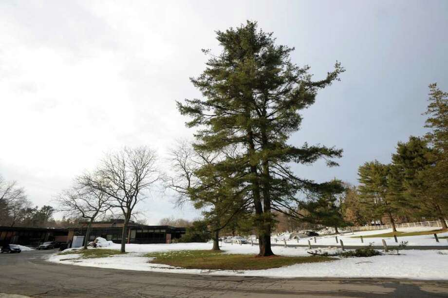 It appears that a pine tree at North Street School that the school district wanted to cut down as part of a new traffic and parking plan, will be spared the ax. Photo: File Photo / Greenwich Time File Photo
