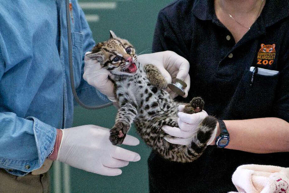 The Connecticut's Beardsley Zoo and the Cincinnati Zoo & Botanical Garden's Center for Conservation & Research of Endangered Wildlife (CREW) are excited to announce the birth of the world's first endangered cat produced by Oviductal Artificial Insemination (AI)!  Connecticut's Beardsley Zoo's veterinarian and a handful of other Zoo animal care specialists conducted their first physical examination of the Brazilian ocelot kitten on Monday, March 7, 2011, six weeks after its January 22 birth, and determined it's a girl weighing in at three pounds. Both the kitten and Kuma have been in seclusion bonding for the last several weeks and are expected to remain in seclusion for another month. Mother and kitten are expected to be introduced to the public sometime in April. Photo: Contributed Photo\Shannon Calvert / Connecticut Post Contributed