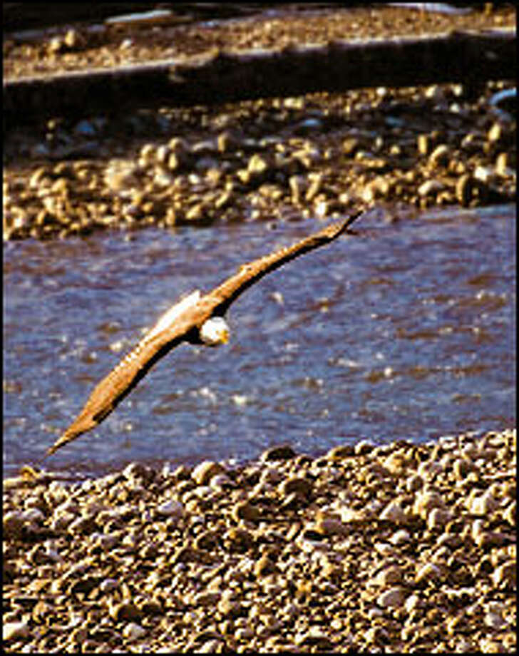 Swooping low over the Squamish River, a bald eagle scans the rocky riverbank for salmon carcasses. Photo: Photos: Jay Drowns/Special To The P-I
