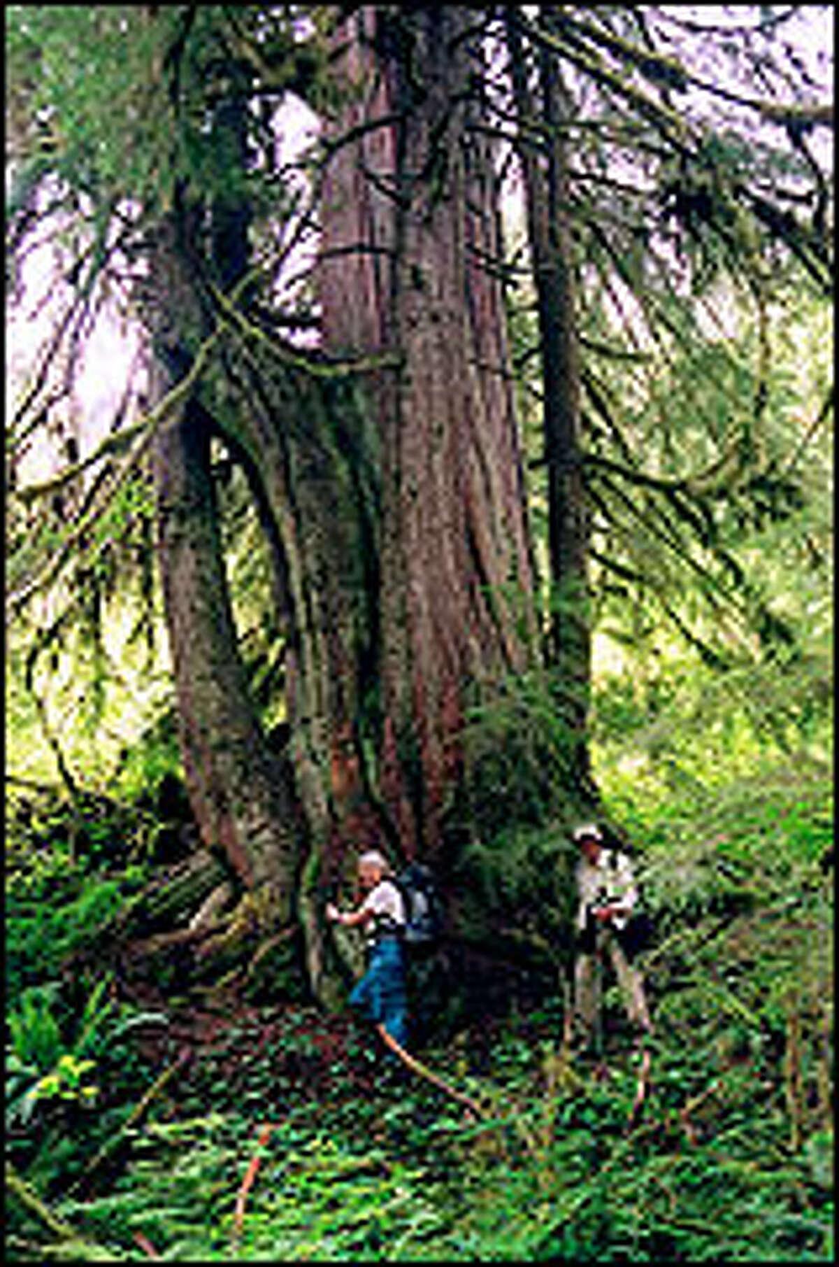 A western red cedar dwarfs Kathy Kelleher, left, and Bob Dreisbach near Troublesome Creek.