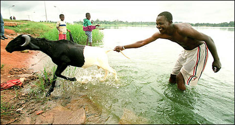 Sekou Koita's goat resists a bath in The Lake at Yamoussoukro, the capital. Ivory Coast was one of 13 countries selected for the first round of grants from the Global Alliance for Vaccines and Immunization. Photo: Mike Urban/Seattle Post-Intelligencer