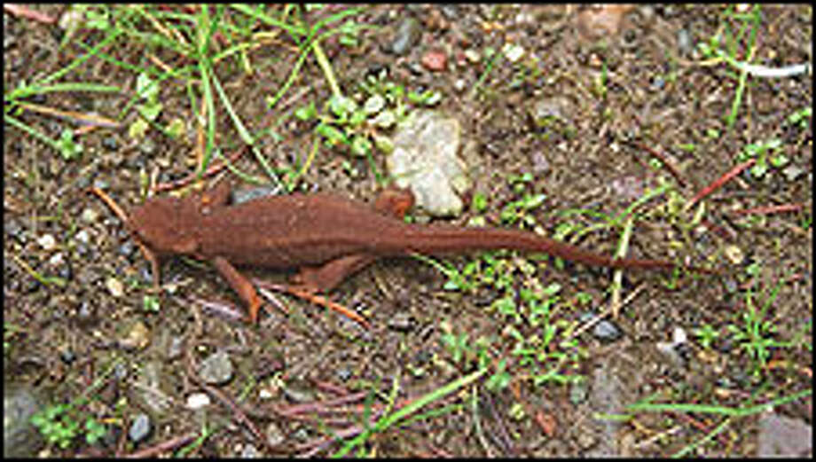 During spring, salamanders are a common sight as they migrate across the slopes of Bald Hill East. Situated on Weyerhauser Co. land in the Nisqually watershed, Bald Hill East is accessed by hiking logging roads. Photo: Karen Sykes Photos