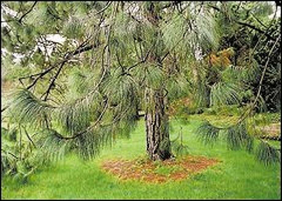 Also at the Arboretum, showing off its long soft needles is a Montezuma pine. Photo: Renee C. Byer/P-I