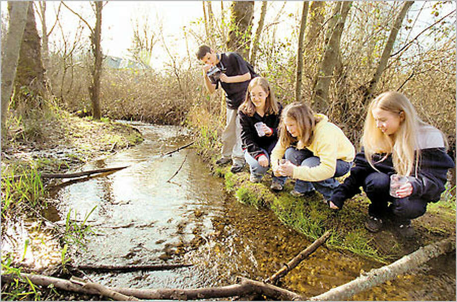 Students Kyle Wescott, from left, Sarah Reed, Amanda Eggleston and Erin Kollman of Sequoia Junior High School in Kent release salmon fry into Soos Creek yesterday. Photo: Paul Joseph Brown/Seattle Post-Intelligencer