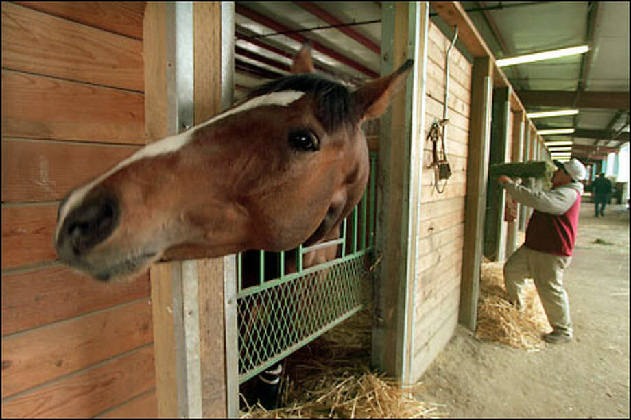 Seattle Zipper checks out a camera-wielding stranger in trainer Tim McCanna's barn at Emerald Downs while awaiting attention from Valentin Garcia, right. Photo: Grant M. Haller/Seattle Post-Intelligencer