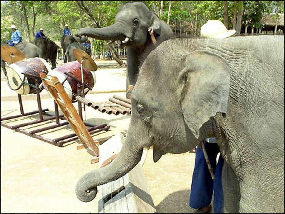 Using their trunks to hold mallets and pluck strings, elephants at the Elephant Conservation Center north of Bangkok warm up before a session. Photo: / Associated Press