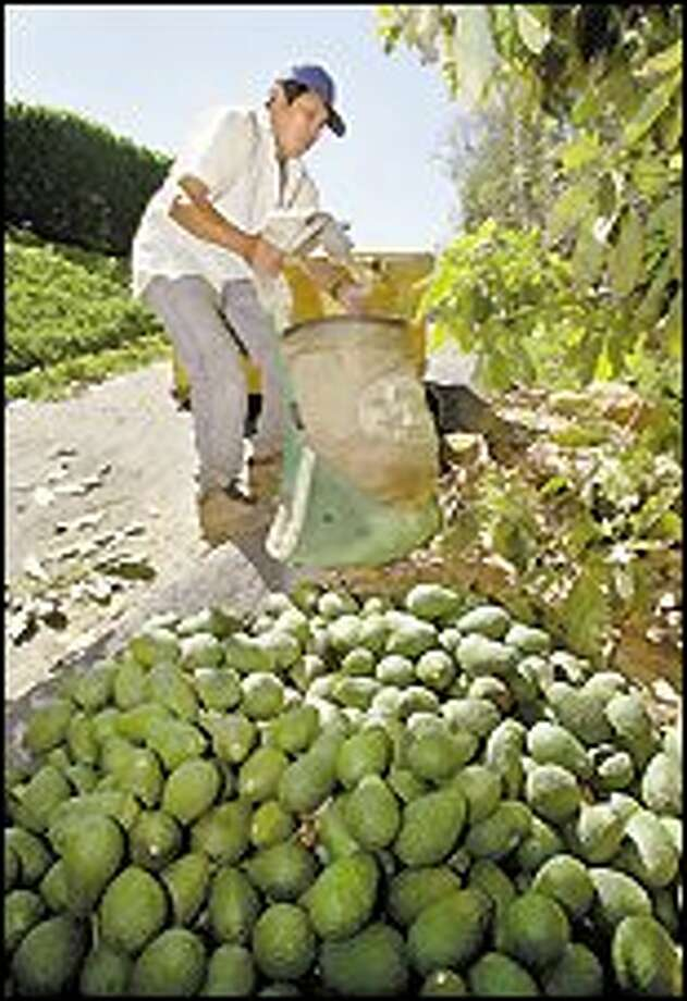 Loreno Islasio loads a bag of Haas avocados in a Fallbrook, Calif., grove, yesterday. Growers project a harvest this year of 409 million pounds, 30 percent more than last year and the most in nearly a decade. Prices are steady and demand is increasing. Photo: AP PHOTO / AP