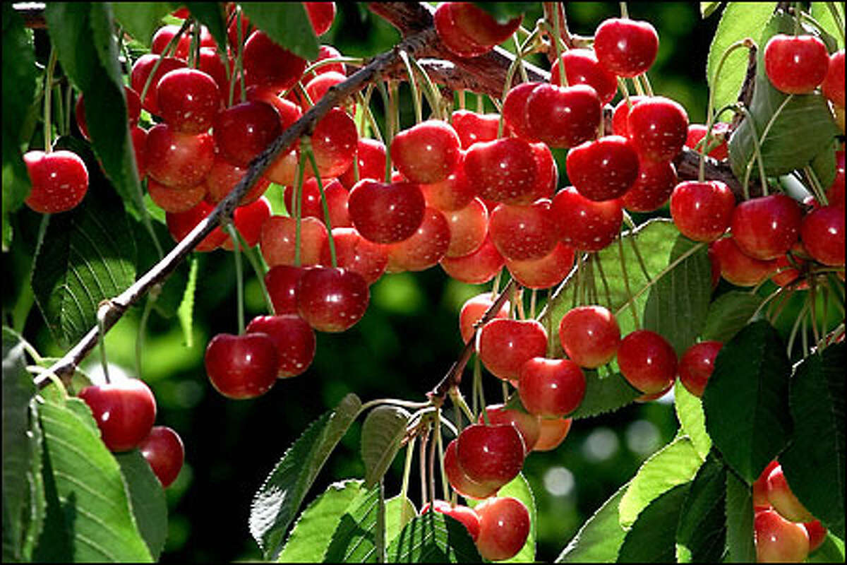Rainier cherries hang from a tree in the Yakima Valley at Olmstead Orchards. See more photos in the gallery.