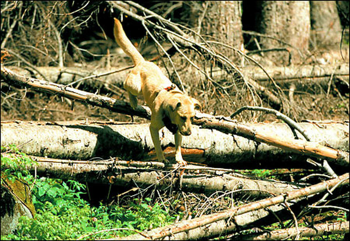Hunting dog Carson, a dropout from narcotics work, leaps over fallen trees in search of his quarry while looking for signs of grizzlies in the Wenatchee National Forest.