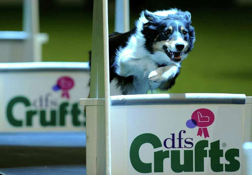 A Border Collie is pictured during a Fly Ball competition on the first day of the annual Crufts dog