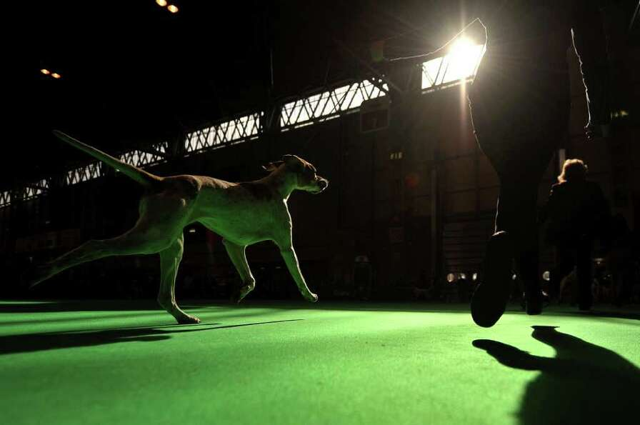 A Pointer dog is seen in a show ring during the first day of the annual Crufts dog show at the Natio
