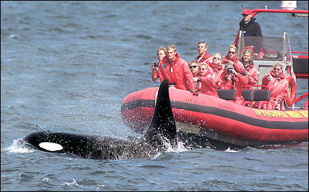 orcas cougars personals What is cougar dating cougar refers to a woman who is older and one who is attracted to a person who is younger than her women who are in their 40 years of age or even older are typically considered as a cougar, and they usually pursue men who are very young.