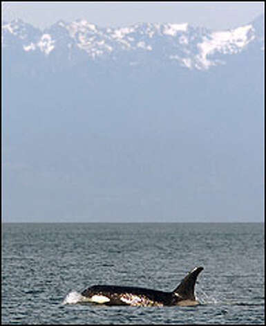 There are three orca pods in Puget Sound: J, K, and L. This female, known as Kasatka, is from the L pod and is officially categorized as L82. Photo: Gilbert. W. Arias/P-I