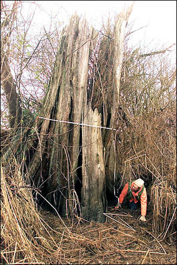 Dr. Brian Atwater of the U.S. Geological Survey measures the diameter of a tree in an ancient cedar snag at the edge of Hood Canal. Atwater's study of old-growth cedars suggests a catastrophic event occurred around 1700. Photo: Mike Urban/Seattle Post-Intelligencer