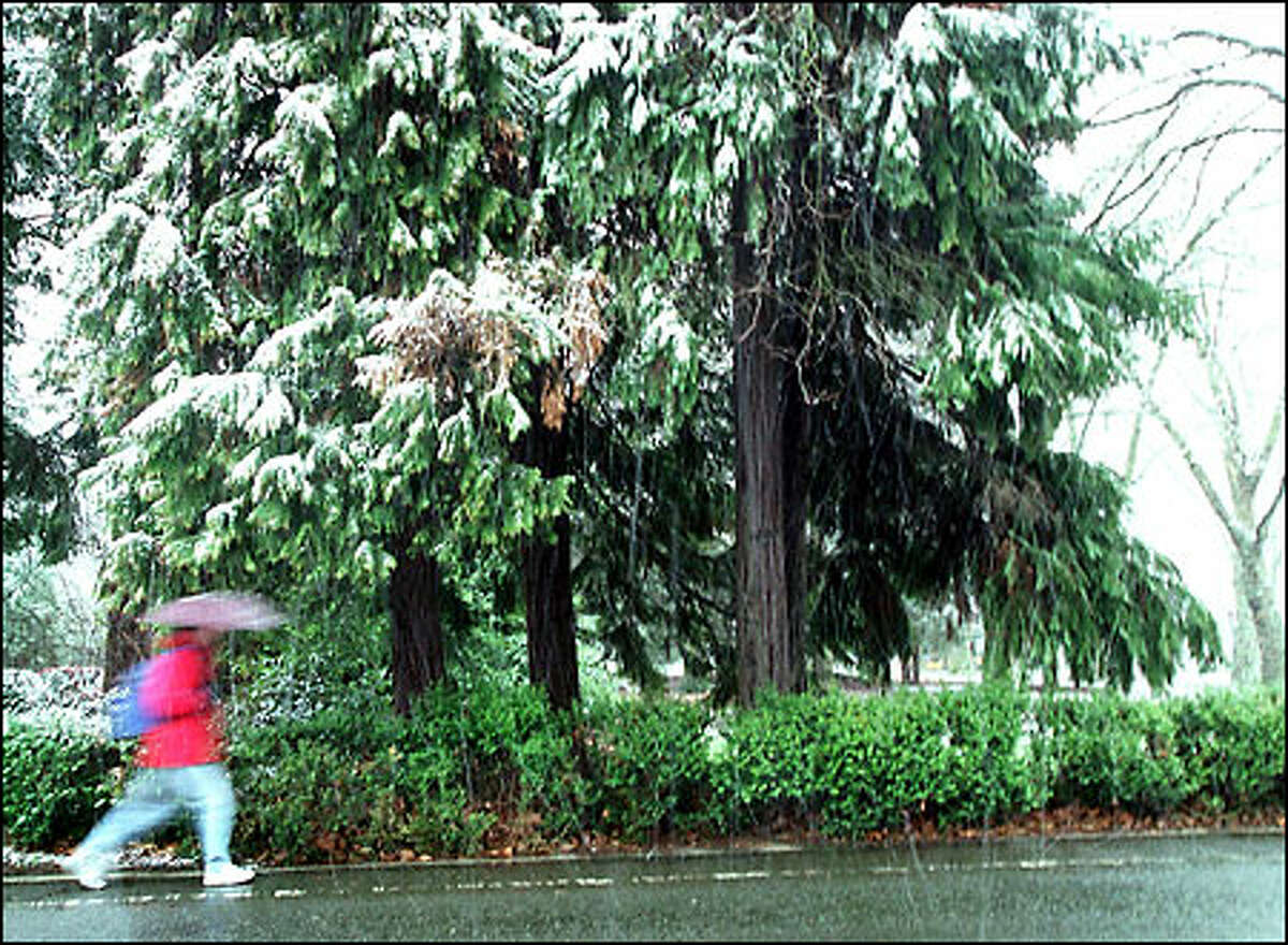 A pedestrian rushes under the snow-laden branches of trees along the sidewalk at the University of Washington. The last time any measurable amount of snow fell in Seattle after March 1 was April 16, 1972.