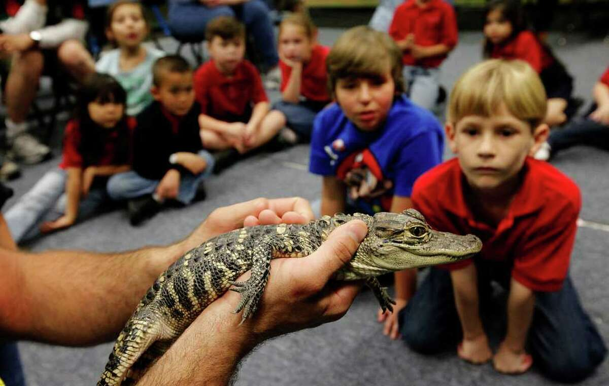 Animal World and Snake Farm's Jarrod Forthman holds a 3-year-old American alligator for children to see at the San Antonio Children's Museum on Thursday, March 10, 2011. The Snake Farm visits the museum once a month to educate children about reptiles and to dispel myths and fears about the creatures.