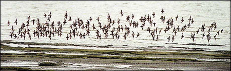 Shorebirds turn en masse along the tidal flats of Bowerman Basin in the Grays Harbor National Wildlife Refuge. The spectacle attracts so many birders that Hoquiam created the annual Grays Harbor Shorebird Festival, May 6-8 this year. Photo: Dan DeLong/Seattle Post-Intelligencer