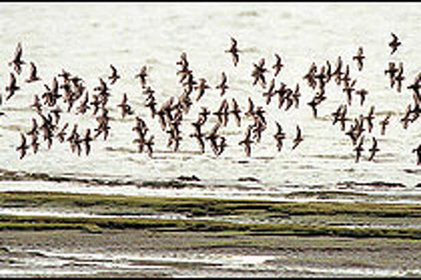 Shorebirds turn en masse along the tidal flats of Bowerman Basin. The spectacle attracts so many birders that Hoquiam created the annual Grays Harbor Shorebird Festival.