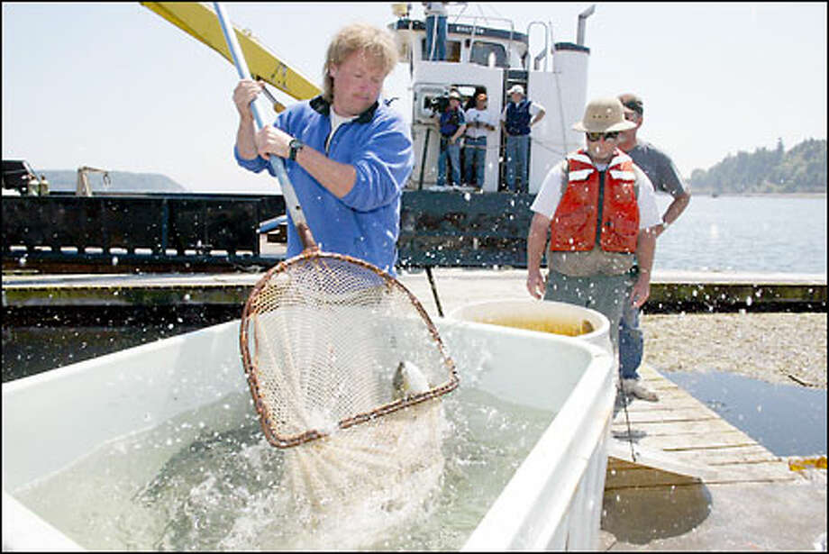 Jason Kalvin of the Cypress Island Fish Farm loads salmon into a container to feed to the orphaned orca after it is captured near Vashon Island. Photo: Gilbert W. Arias/Seattle Post-Intelligencer