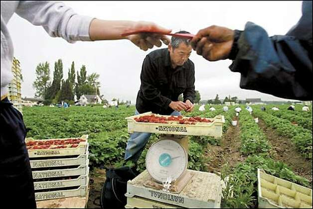 Steve Sakuma helps weigh strawberries during the first harvest at Sakuma Brothers Farms in this 2002 photo.