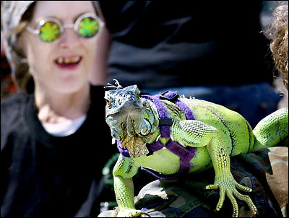 Demaris Strohm of Seattle peers at Shanghai, an iguana, sitting on the shoulder of Penny Simons of Renton. The women are part of a medical marijuana advocacy group. Photo: Renee C. Byer/Seattle Post-Intelligencer