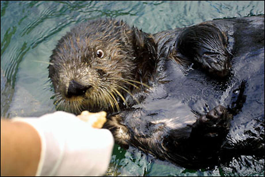 A healthy diet of clams helps 5-year-old sea otter Lootas, an orphaned wild otter who has always been hand-fed by humans, to reproduce. Photo: Melina Mara/Seattle Post-Intelligencer