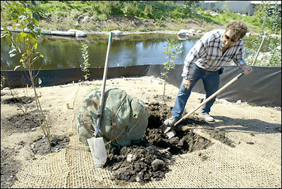 Bob Vangrinsven with Terra Dynamics landscaping digs a hole before planting a red cedar tree along the Sammamish River in downtown Redmond. Photo: Gilbert W. Arias/Seattle Post-Intelligencer