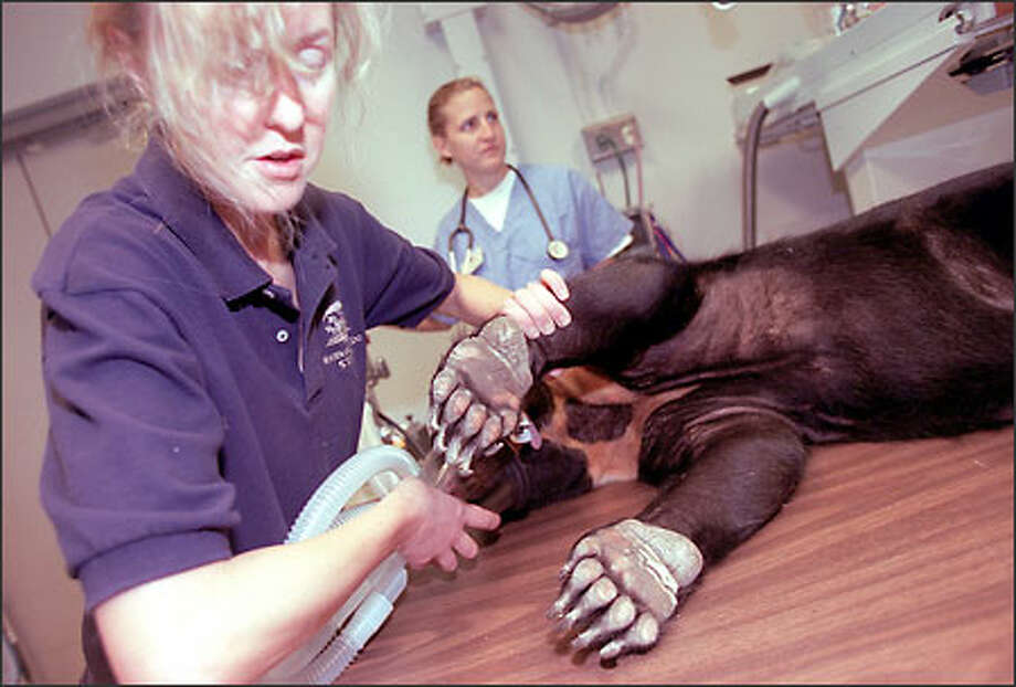 Cheryl Frederick, sun bear keeper at the Woodland Park Zoo, administers sleeping gas to Edwina before a medical examination. Photo: Loren Callahan/Seattle Post-Intelligencer
