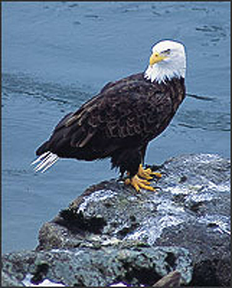 Between November and February, thousands of bald eagles congregate along the Squamish River near the small community of Brackendale, B.C., to feast on chum salmon. Photo: TOURISM BRITISH COLUMBIA