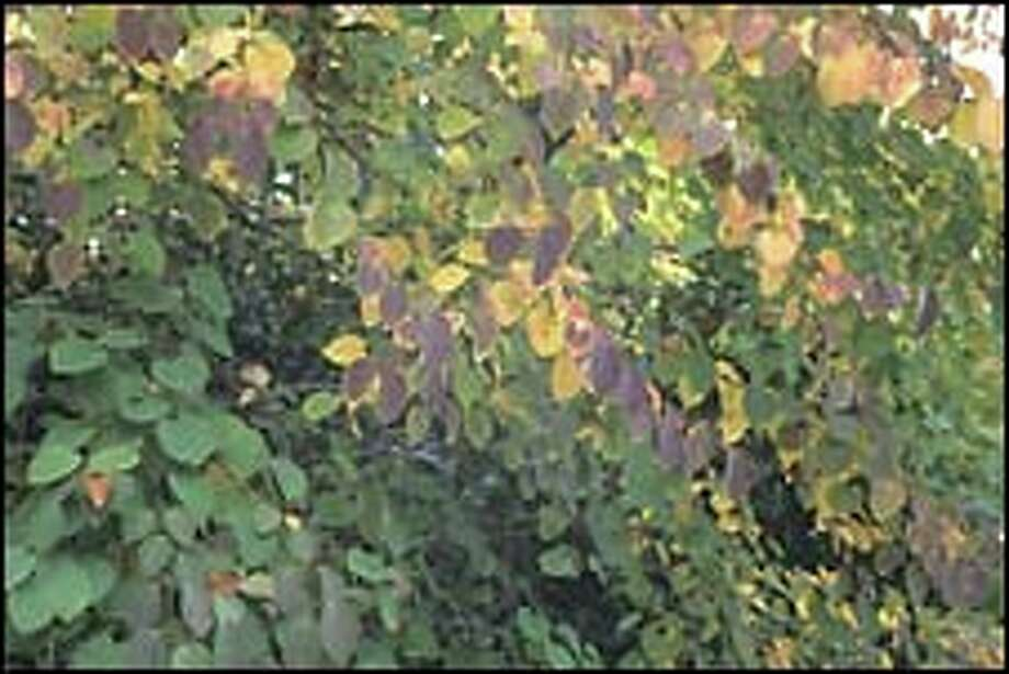 As the leaves of the katsura tree (Cercidiphyllum japonicum) turn gold, they smell of butterscotch. It's elusive, and walking by a tree in the cool, damp fall air, you may think that someone nearby is baking.