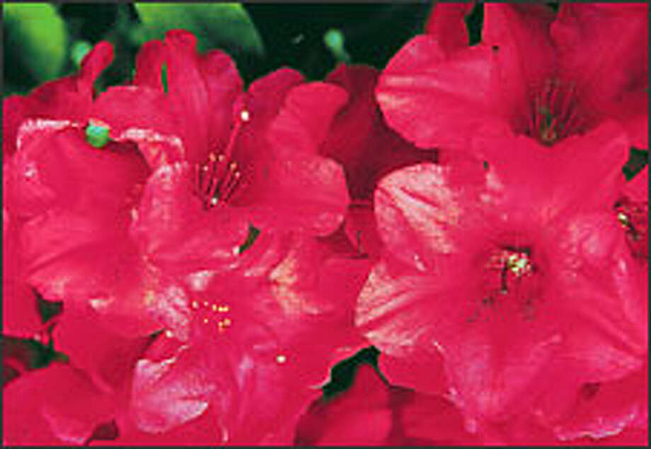 """The """"seven dwarves"""" series of yak cultivars are named for Disney's seven dwarves. 'Dopey' has pink-red flowers with light edges."""