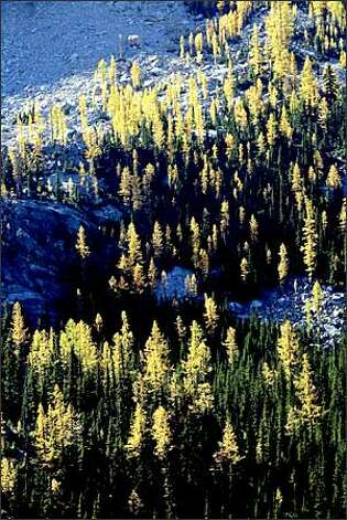 Golden larches are aglow in Washington Pass. Photo: Dan DeLong/Seattle Post-Intelligencer