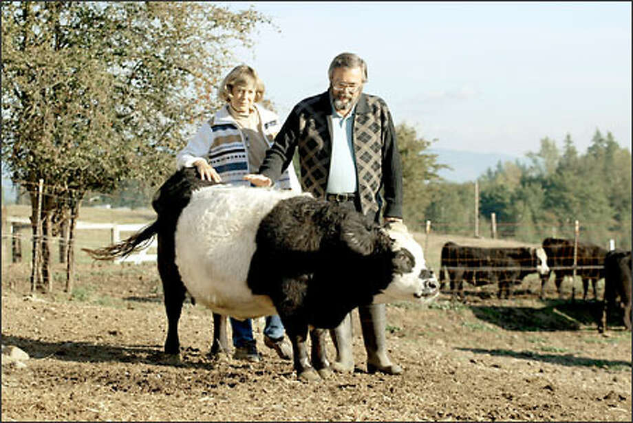 """Richard and Arlene Gradwohl pet """"Precious"""" at the Happy Mountain Miniature Cattle Farm in Covington. The 2 1/2-year-old Panda miniature is one of about 75 miniatures at the farm. Photo: Gilbert W. Arias/Seattle Post-Intelligencer"""