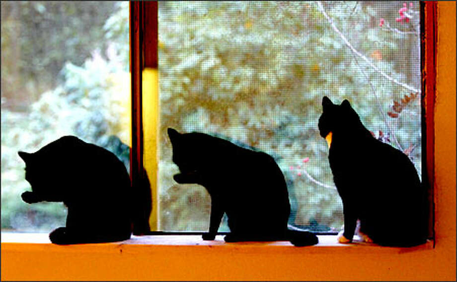 Three companions sit on a windowsill at Purrfect Pals in Arlington. The shelter keeps black cats safely indoors during the Halloween season. Photo: Dan DeLong/Seattle Post-Intelligencer