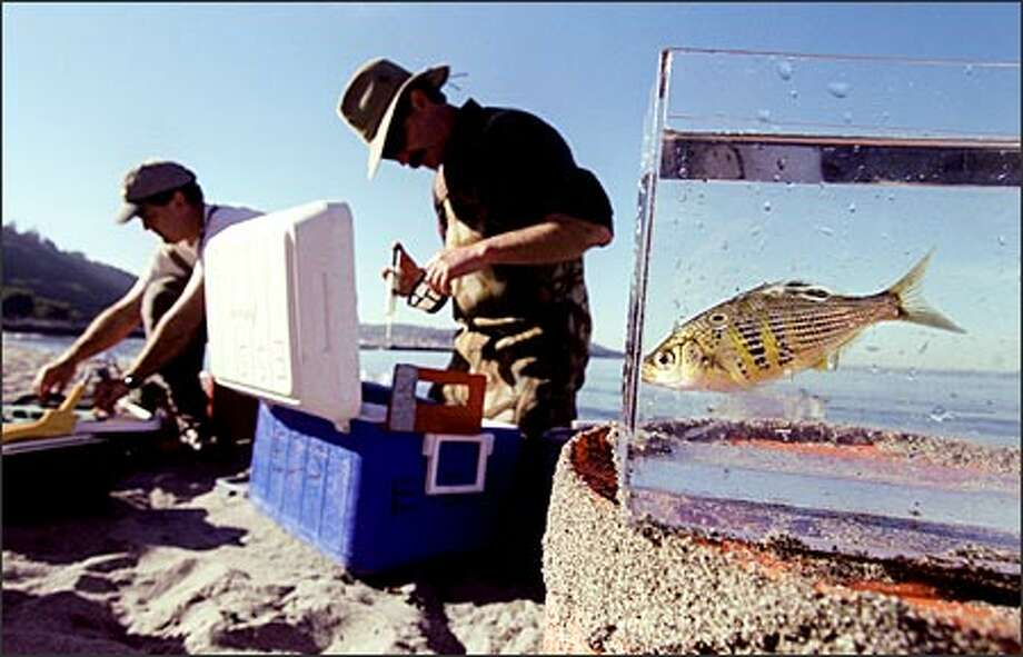 A shiner surf perch swims in a tank after it was netted recently from the beach at Golden Gardens Park by a team led by Jim Brennan, senior ecologist with King County's Water and Land Resources Division. Brennan, center, oversees a program to monitor near-shore habitat, where the shiner surf perch are in abundance. Photo: Paul Joseph Brown/Seattle Post-Intelligencer