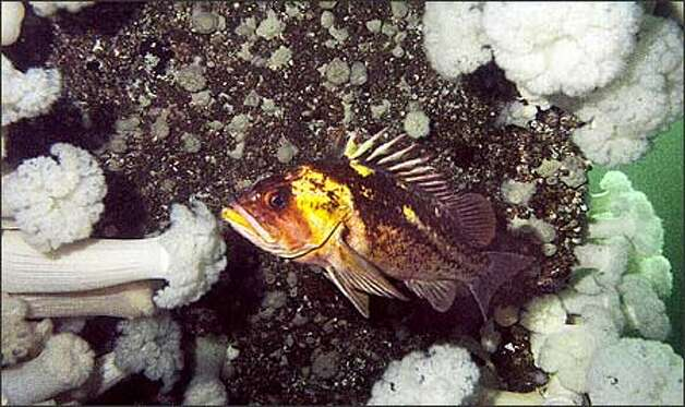 Copper rockfish can be seen at Edmonds Underwater Park. Photo: James Johnson/Seattle Post-Intelligencer