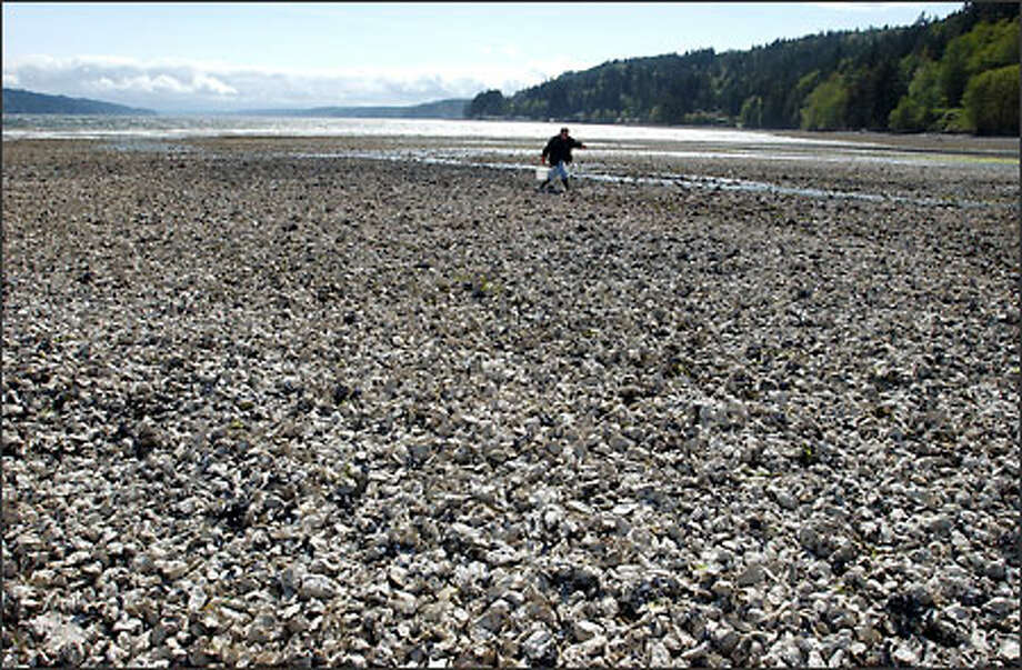 Oyster beds, like this one on Hood Canal being crossed by Mark Iverson of Vancouver, Wash., are at risk from red tide, algae that poisons shellfish. Research has shown a link between algae contamination and population growth. Photo: Jeff Larsen/Seattle Post-Intelligencer
