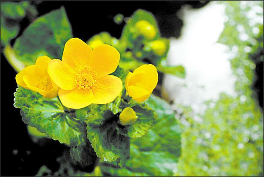 Marsh marigold (Caltha palustris)  Photo: Dan DeLong/Seattle Post-Intelligencer