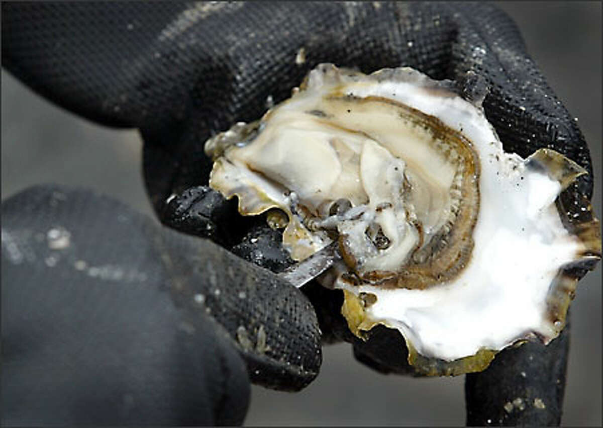 A Pacific oyster gives up its succulent center to Kip McDole, who came all the way from the Tri-Cities to harvest the Hood Canal bivalves.