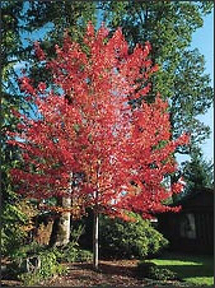 The scarlet maple cultivar 'Red Sunset,' commonly found along the streets of Seattle, rates a friendly 1 on the pollen-allergy scale. Photo: Monrovia