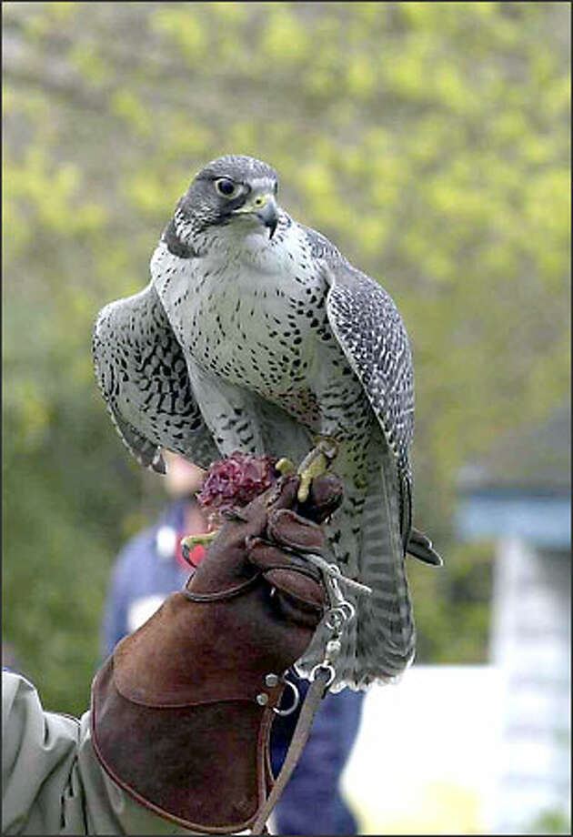 Unable to hunt on her own, this 9-year-old gyrfalcon may fly right up to people. She has been missing from the zoo since Saturday. Photo: Woodland Park Zoo