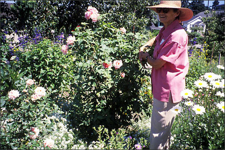 Jane Braverman shows off a 'Tiffany' rose in her P-Patch, which is full of flowers for cutting. Photo: Marty Wingate/for The Seattle Post-Intelligencer