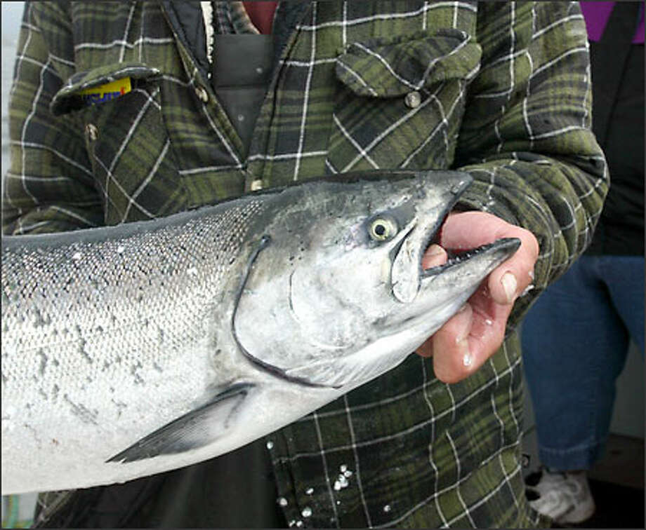 A king salmon caught off the Washington coast near La Push. Photo: Karen Ducey/Seattle Post-Intelligencer