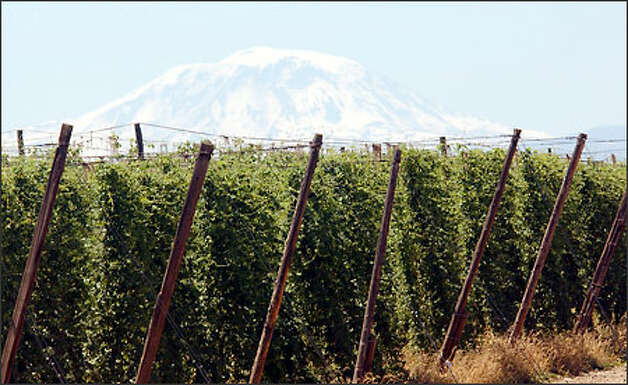 Mount Adams rises from behind a field of hops in Eastern Washington. Photo: Jeff Larsen/Special To The Seattle Post-Intelligencer