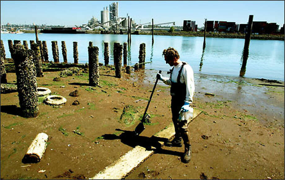 Shawn Hinz, with Windward Environmental, digs clams along the Duwamish River to find out how abundant the shellfish are. The risk to people who eat them also must be determined. Photo: Paul Joseph Brown/Seattle Post-Intelligencer