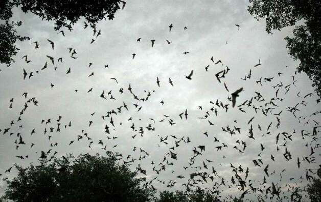 Some of the 1-3 million Mexican free-tailed bats emerge from the Old Tunnel Wildlife Management Area Thursday July 23, 2009 located between Fredericksburg and Comfort. Photo: EDWARD A. ORNELAS, Express-News / eaornelas@express-news.net
