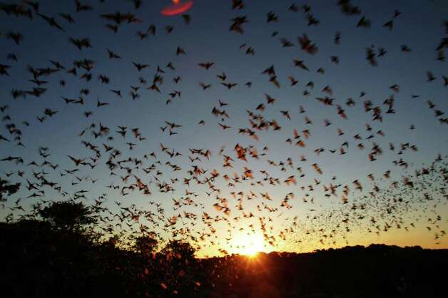 Bats emerge from Frio Cave as the sun sets behind in 2005 near Uvalde. Photo: BAHRAM MARK SOBHANI, Express-News / SAN ANTONIO EXPRESS-NEWS