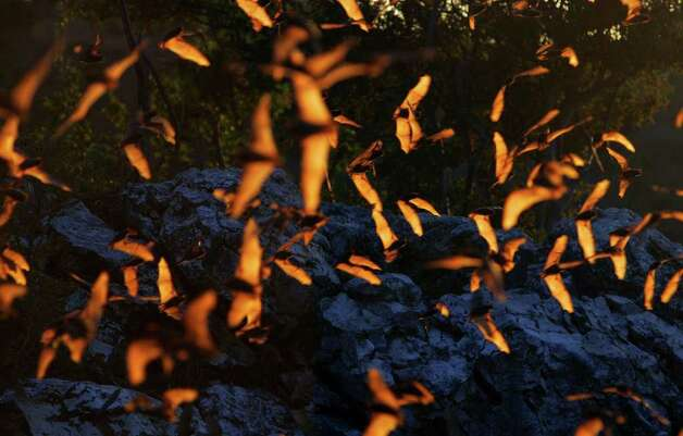 Light from the setting sun reflects off bats emerging from Frio Cave Wednesday, June in 2005 near Uvalde. Photo: BAHRAM MARK SOBHANI, Express-News / SAN ANTONIO EXPRESS-NEWS